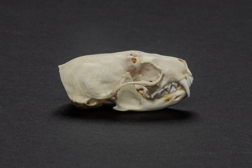 Crâne de vison d'Amérique